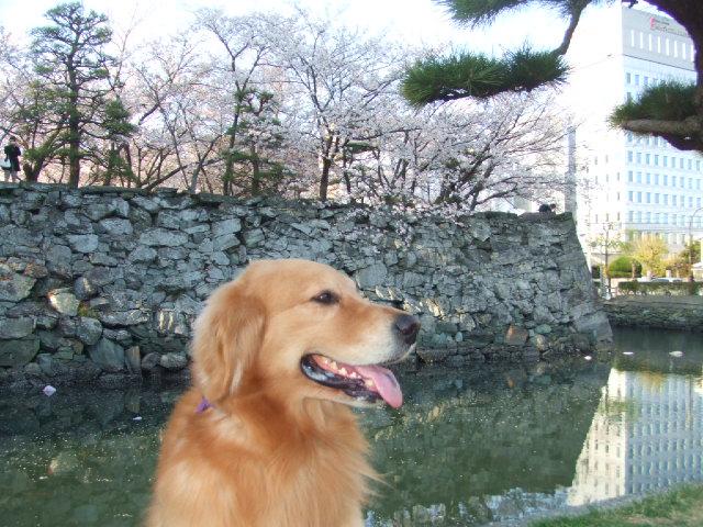 お堀の桜とニコル
